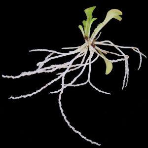 plantas carnívoras-5
