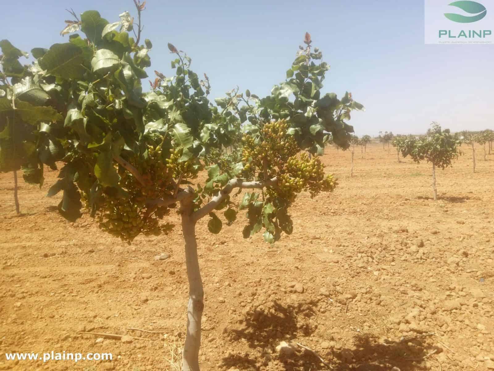 cómo plantar pistachos