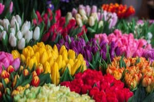 cultivar tulipanes