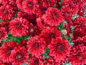 flores bonitas crisantemos