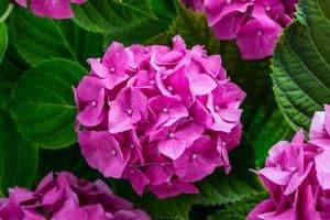flores silvestres hortensia