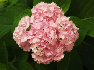 hortensias flores bonitas