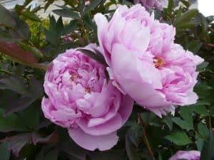 peonias flores bonitas