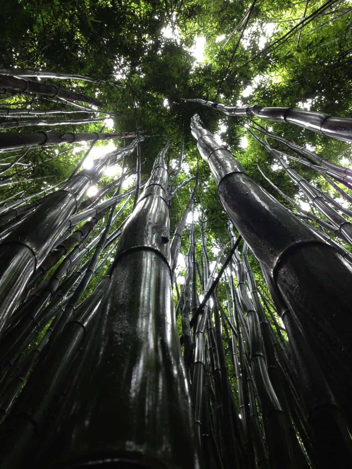 plagas y enfermedades del bambú