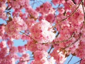 plantar un cerezo