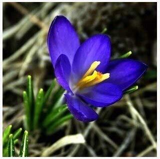 GEOPONICS SEMILLAS: PC bulbos de azafrán, bulbos de flor del azafrán de azafrán, son los bulbos de azafrán (no flores) de flor de la planta jardín de su casa: Rosa