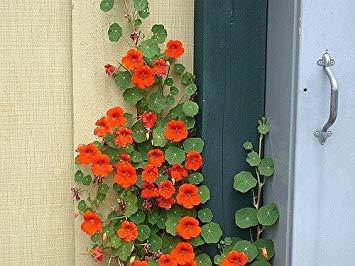 Semillas de plantas de flor de la capuchina BloomGreen Co. escalador