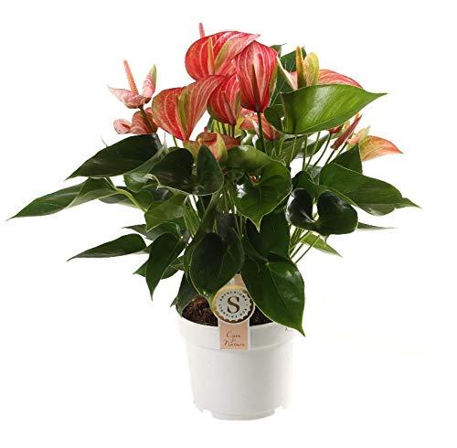 Planta de interior de Botanicly – Anturios – Altura: 60 cm – Anthurium Livium Red