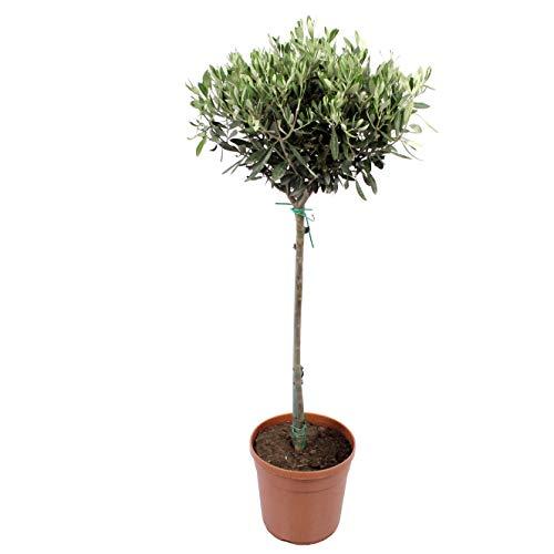 Planta de interior de Botanicly – Olivo – Altura: 100 cm – Olea europeae