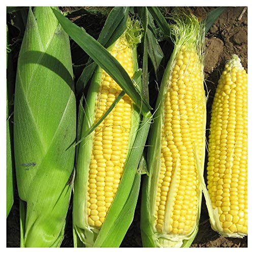 Premier Seeds Direct SWC05 - Semillas para Verduras (maíz)