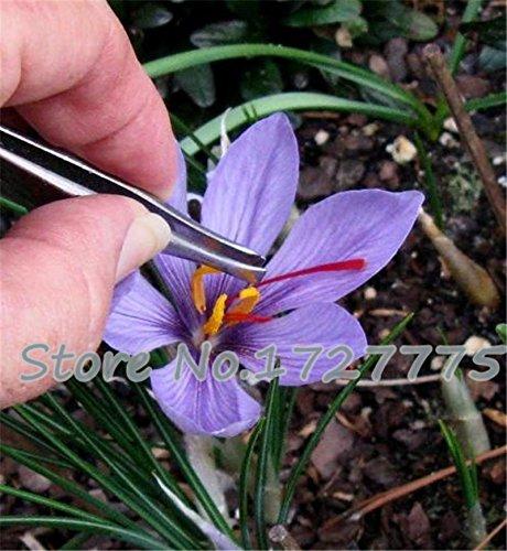 100PC semillas de azafrán, semillas de flor de azafrán, semillas de azafrán, jardín de flores de plantas, semillas Bonsai
