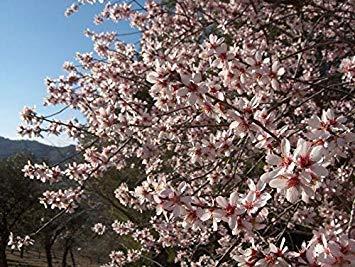 Las Semillas de germinación: Almendro 10 Semillas Frescas (Prunus Dilcus)