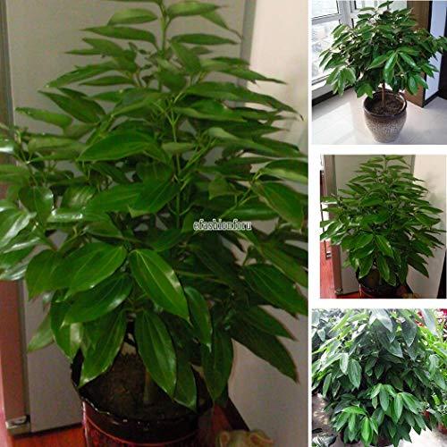 Portal Cool Semillas de canela Plantas de interior Semillas de árbol de hoja perenne Hierba Tradicional 20 piezas T
