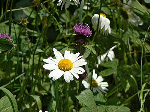 ScoutSeed Margarita de ojo de buey - Leucanthemum vu: una gama de plantas de tapones de flores silvestres - ENTREGA GRATUITA de más de £ 20