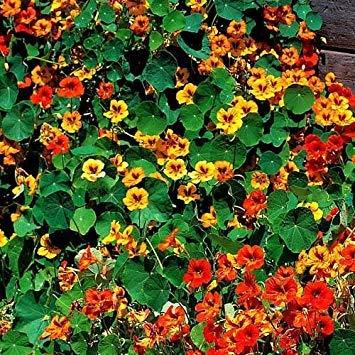 Semillas BloomGreen Co. Flor: Las semillas de flor de la capuchina Mix plantas de temporada Jardín floreciente [Home Garden Semillas Eco Pack] semillas de plantas