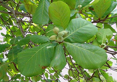 Asklepios-seeds® - 10 Semillas de Terminalia catappa Almendro malabar, almendro de los trópicos, almendrón, falso kamani, Egombegombe