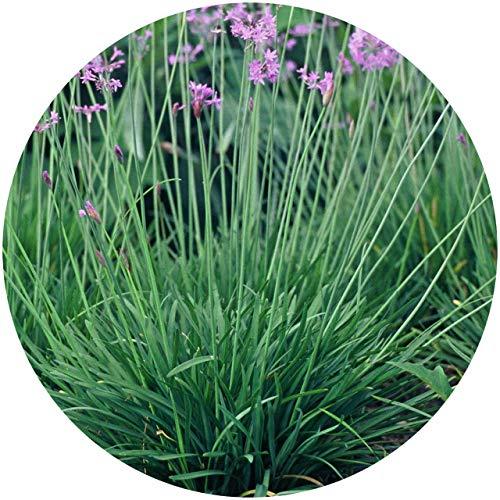 Tulbaghia Violacea Maceta 10cm Ajo de Jardín Planta para Estanque