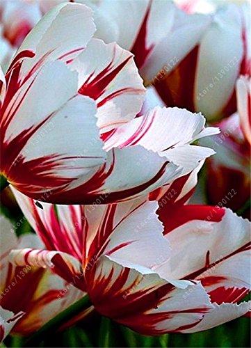 bulbos de tulipán verdaderos, flor del tulipán, (no tulipán semillas), bulbos de flores simboliza el amor, la planta de la flor tulipanes de plantas de jardín -2 Bulbos 16