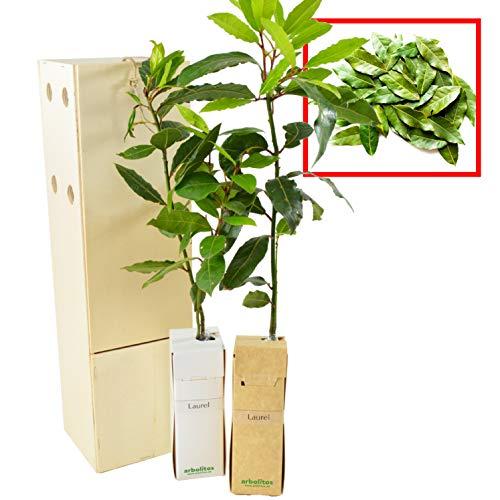 LAUREL arbusto aromático de pequeño tamaño (2)