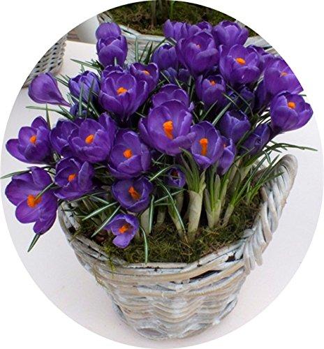 Bulbos de azafrán, Países Bajos planta rara flor Crocus sativus Plantas Bonsai florecimiento flores bulbos frescos (no es semilla) -2 Bulbos