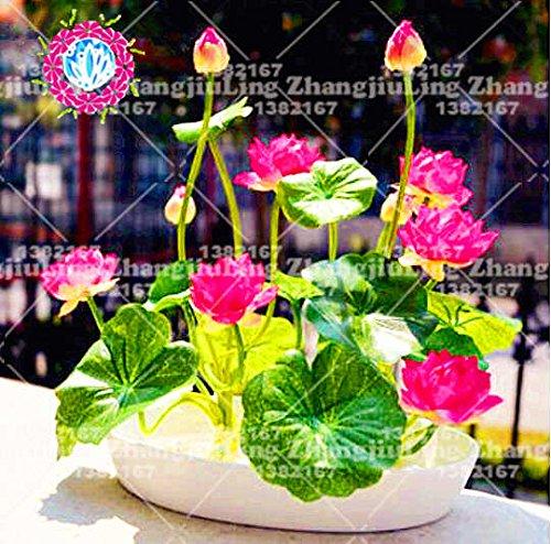 5pcs / bolsa de semillas de loto flor de loto Plantas acuáticas b loto semillas de nenúfar perenne planta para el jardín de 9