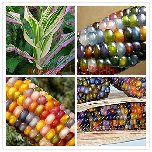 20pcs / bag semillas de maíz Semillas auténtico cristal de la gema del maíz indio de la herencia, del arco iris, semillas vegetales no modificados genéticamente para la siembra jardín de su casa