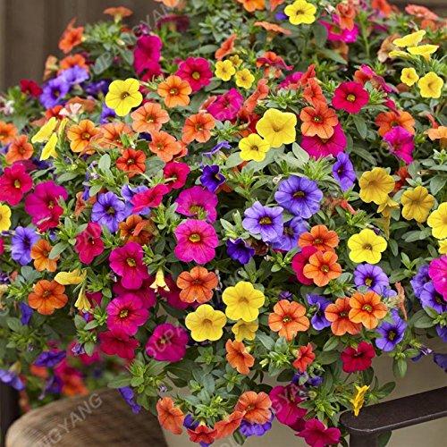 200pcs Bonsai color mezclado Petunia Semillas Flores hermosas por plantas del jardín de flor de la petunia Bonsai Semillas fácil de cultivar plantas Borgoña