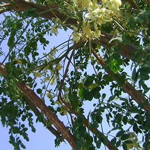 PLAT FIRM Germinación de las semillas: Las semillas del árbol de Moringa 100 pc