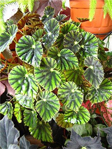 100 PC mezcladas Semillas Semillas Bonsai Begonia de flor Patio Balcón coleo Semillas Begonia colorido plantas en macetas para jardín 22