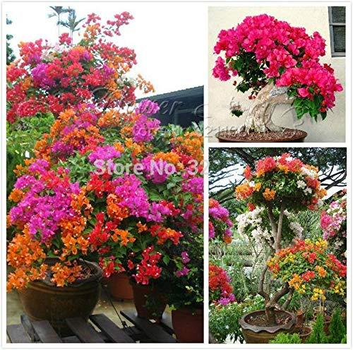 ShopMeeko Seeds:100pcs Colorful Bougainvillea Plants Balcony Flower Pot * Garden Flowers Plants In Bonsai Floriferous Hardy Plant Tree Sementes : White