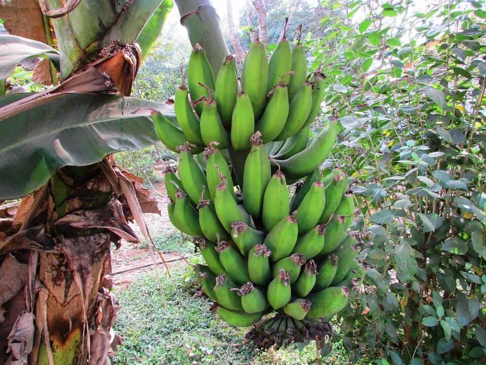 árbol de plátano