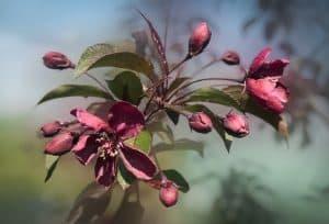 ¿Cuándo se debe cultivar el árbol del paraíso?