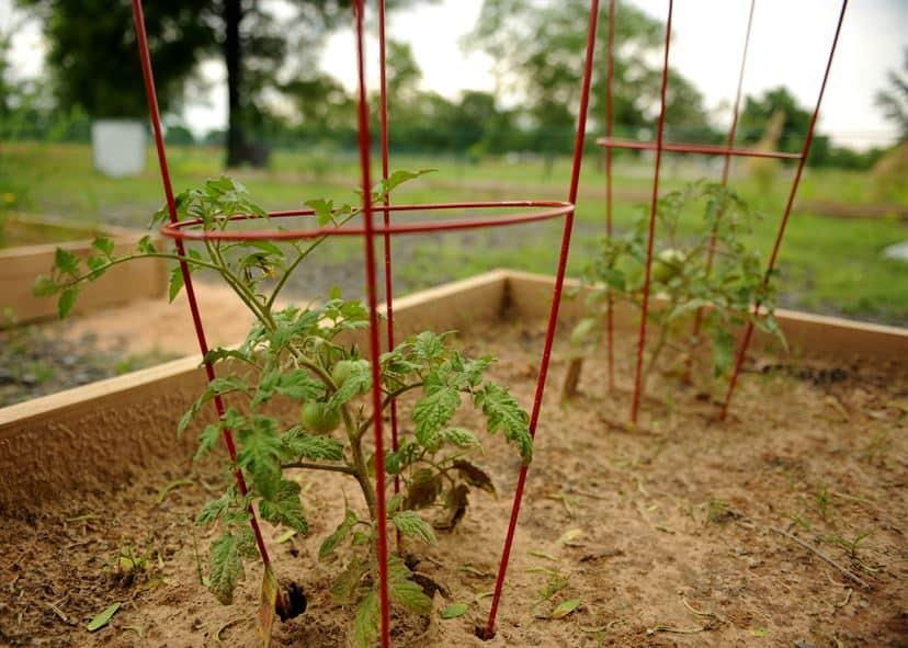 jaulas tomates