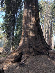 dónde está el árbol más grande del mundo