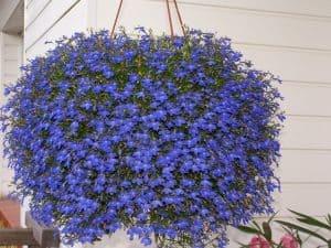 Plantas Colgantes: [Siembra, Cuidados, Ejemplos, Riego e Imágenes]