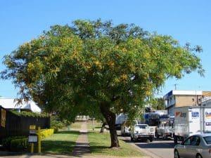 Árbol de Tipuana rápido crecimiento