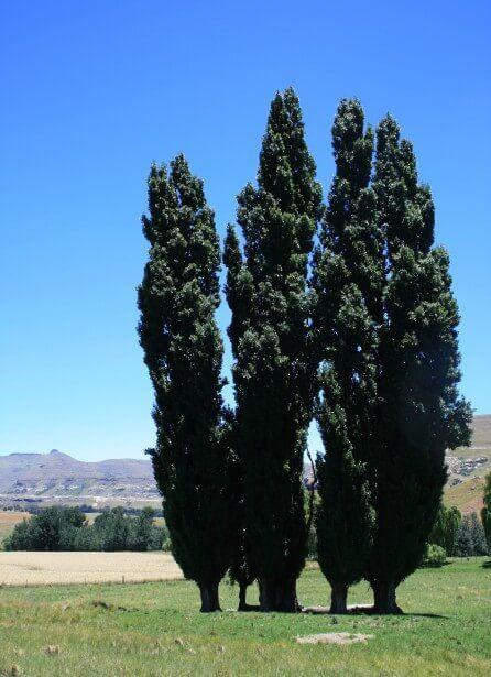 A qué plantas afecta el cascarudito taladrillo - Álamos