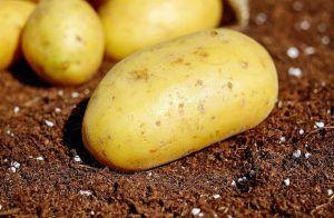 Cómo podemos detectar la falta de riego en la patata