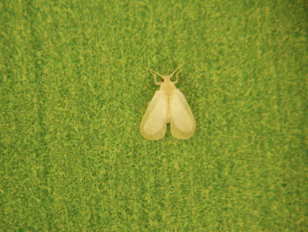 A qué cultivos afecta la mosca blanca