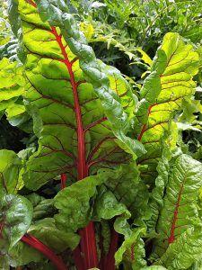 A qué plantas afecta la plusia o gusano verde - Acelgas