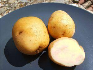 A qué plantas afecta la polilla de la patata