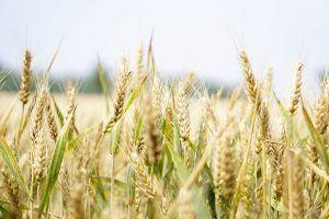 A qué plantas afecta la roya - Trigo