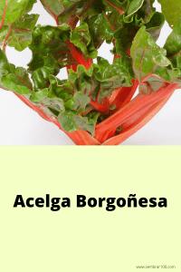 Acelga Borgoñesa (1)