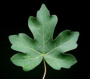 Acer Campestre arbusto