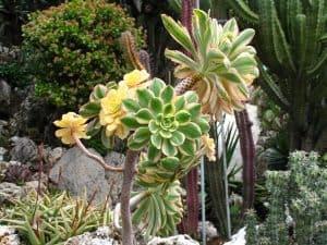 Aeoniun Arboreum
