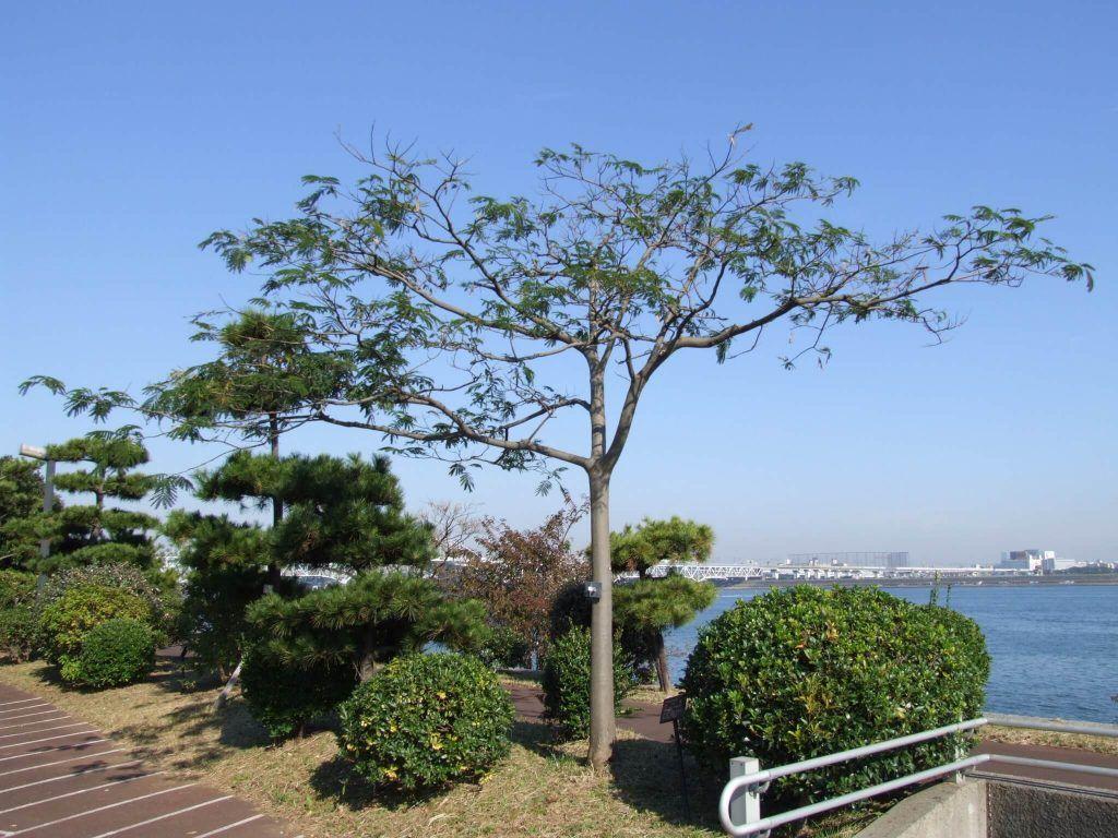 Albizia julibrissin árbol