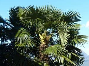 Cómo podemos detectar falta de riego en las palmeras