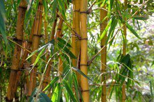 Podar un Bambú