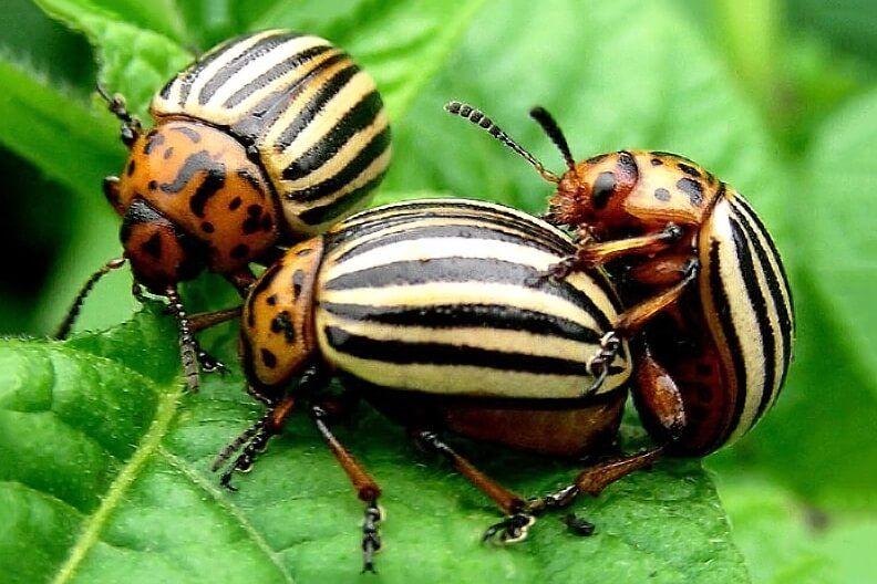 Cómo combatir el escarabajo de la patata - Eliminación de adultos y huevos