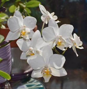 Cómo regamos la Phalaenopsis